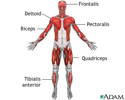 muscular system - lessons - tes teach, Human Body
