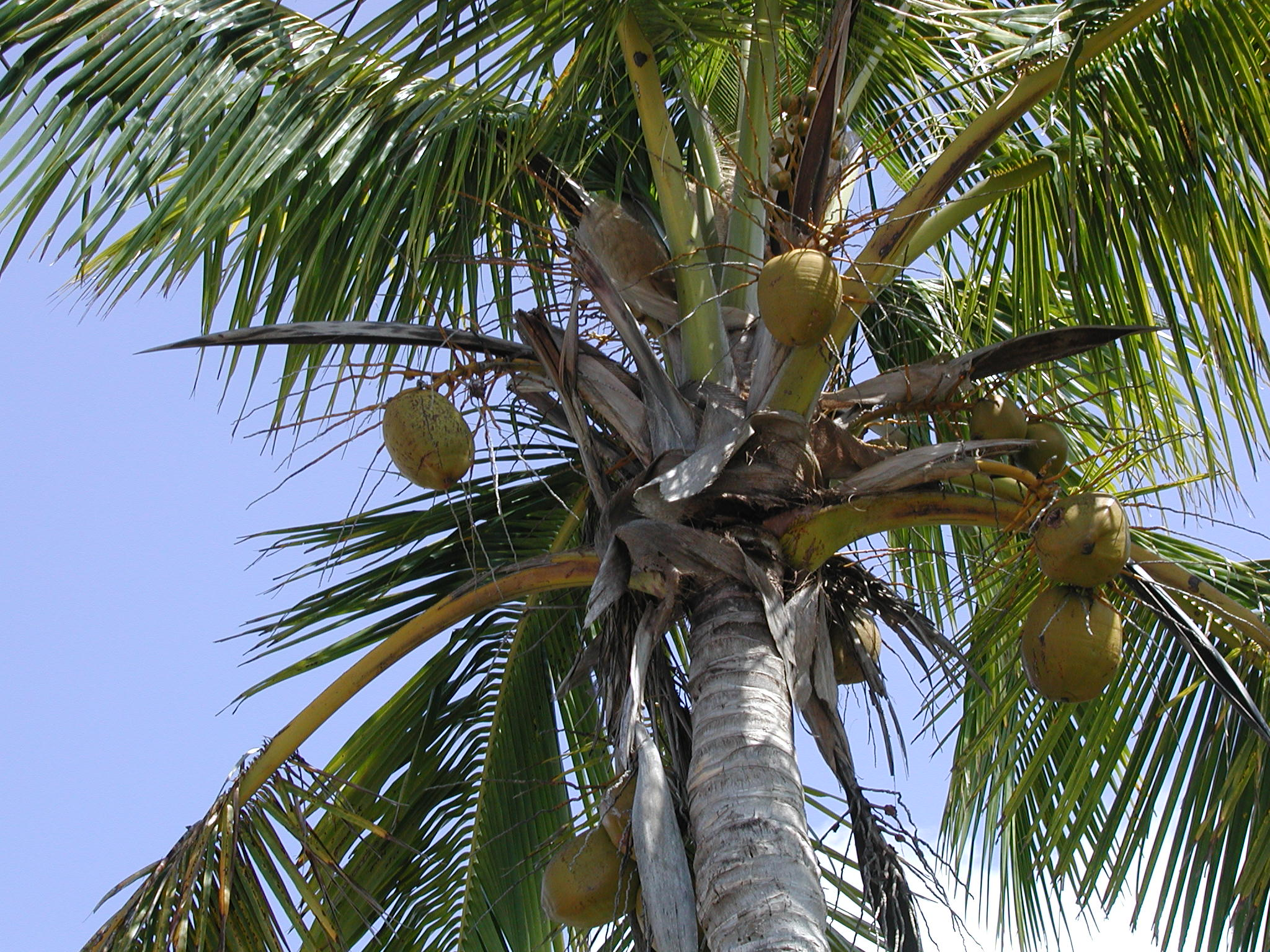 coconut tree Coconut tree is a plant that belongs to the family arecaceae there are over 150 species of coconuts that can be found in 80 different countries throughout the world coconut tree grows only in the tropical climate this plant live on the sandy soil, requires a lot of sunlight and regular rainfalls.