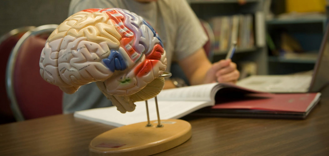 Boy studying next to model of human brain